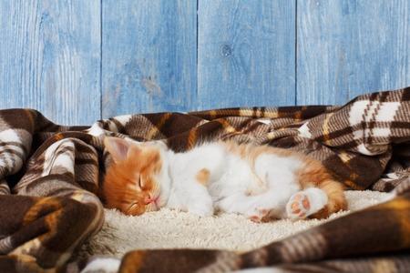 long haired: Ginger kitten with white chest. Long haired red orange kitten sleep at plaid blanket.