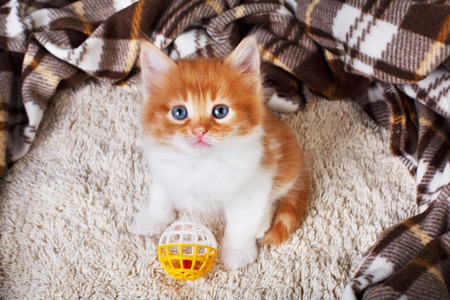 long haired: Long haired red orange kitten sit at brown plaid blanket.