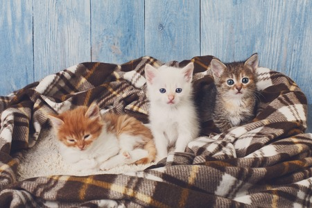 cute kittens: Adorable grey, white and ginger kitten sit at plaid blanket. Ginger kitten looks sleepy. Sweet cute kittens on a serenity blue wood background. Pet care. Funny kittens Stock Photo