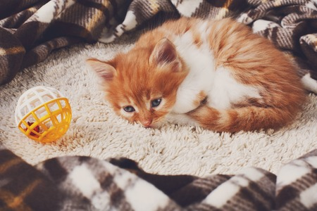 long haired: Long haired red orange kitten lay down tired at plaid blanket. Stock Photo
