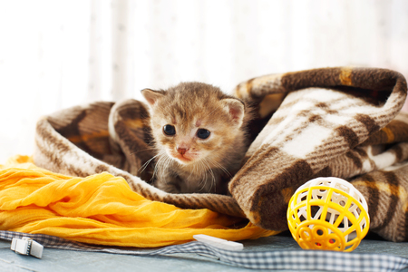 meowing: Grey striped newborn kitten in a plaid blanket. Sweet adorable tiny kittens on a serenity blue wood background play with cat toy and ribbon. Small cat. Funny kitten crawling and meowing