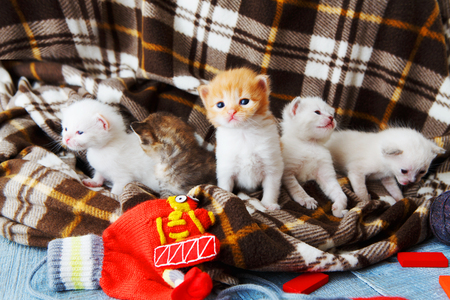 meowing: Kittens and mittens. White, ginger and grey newborn kittens in a plaid blanket. Sweet adorable tiny kittens on a serenity blue wood play with cat toy and mittens. Funny kittens crawling and meowing