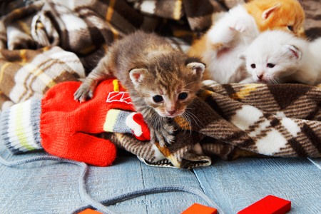 animal beautiful: Kittens and mittens. White, ginger and grey newborn kittens in a plaid blanket. Sweet adorable tiny kittens on a serenity blue wood play with cat toy and mittens. Funny kittens crawling and meowing
