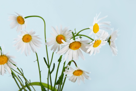 amorousness: Beautiful daisies bouquet in vase. Garden flower, natural camomile closeup at blue background Stock Photo