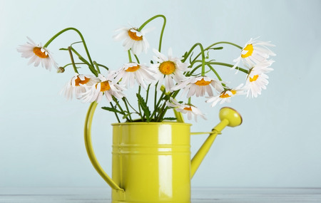 amorousness: Beautiful daisies bouquet in green watering can at blue background. Flower in vase. Natural camomile closeup.