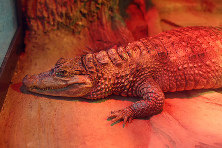 aviary: Alligator in zoo indoors, resting under infrared heating lamp. Lying crocodile in cage, wild animal. Reptile in aviary