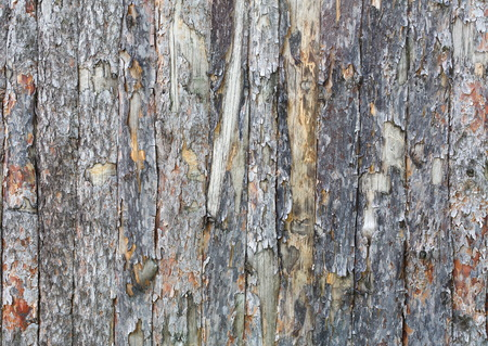 untreated: Natural tree bark plank texture. Untreated rustic wood background, rough timber plant surface. Weathered grunge styled fence.