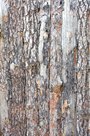 untreated: Natural tree bark plank texture. Untreated rustic wood background, rough timber plant surface. Weathered grunge styled fence. Vertical image Stock Photo