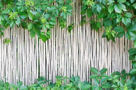 japones bambu: Blanco valla de bambú natural de textura de fondo. superficie de la pared caña de la India con la uva deja el marco, frontera verde con copia espacio en el medio