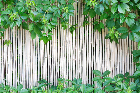 chinese bamboo: White natural bamboo fence texture background. Indian cane wall surface with grape leaves frame, green border with copy space in the middle Stock Photo
