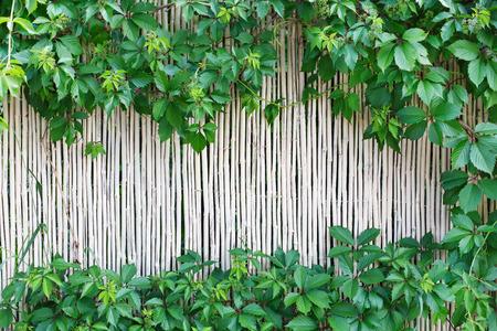 Weiße natürliche Bambuszaun Textur Hintergrund. Indian Rohrwandfläche mit Weinblättern Rahmen, grüne Grenze mit Kopie Raum in der Mitte Lizenzfreie Bilder