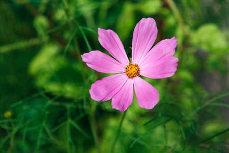 radiance: Mexican Aster bright pink flower or Garden Cosmos, closeup outdoors at green background. Its Latin name is Cosmos Bipinnatus Radiance, native to Mexico. Popular annual plant cosmea.