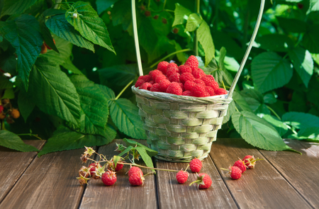 stay in green: Basket full of raspberries stay on wooden table outdoors at raspberry bush with green leaves background. Summer harvest of berries