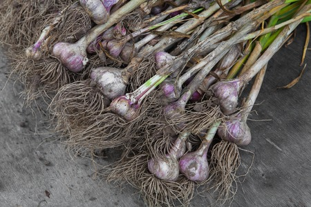 wood agricultural: Organic farming. Dirty garlic bulbs fresh gathered on field at ecological farm, lays on rustic wood background. Harvest at agricultural production business. Natural healthy food outdoors