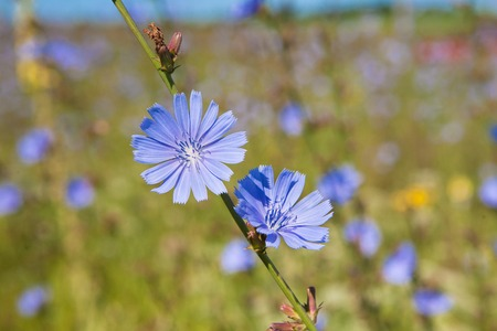chicory coffee: Blue chicory herb in the summer field, closeup. Beautiful flower of organic useful plant. The root of this vegetable is used in farming to make coffee alike drink Stock Photo