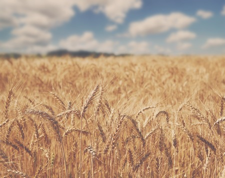 haciendo pan: Beautiful rural nature. Golden wheat field and blue sky background. Harvest and farming concept. Agricultural business of bread making. Dark toning, selective focus on ears