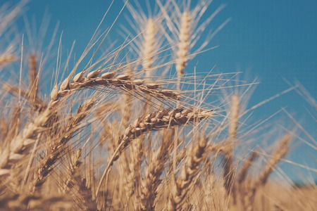 harvest background: Golden wheat ear closeup on field and blue sky background. Harvest and farming. Bread making concept. Agricultural business. Soft toned image