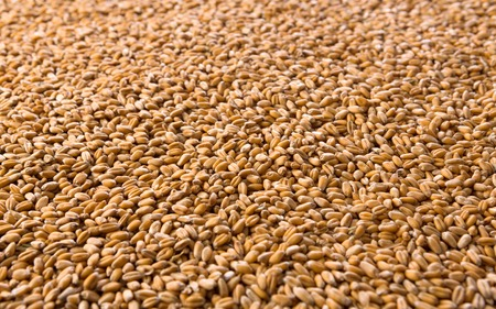 processed grains: Processed organic golden wheat grains texture as agricultural background. Lots of seeds closeup. Harvest and farming, bread making business.