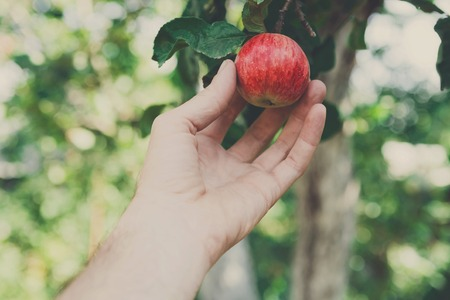 gather: Farmers hand pick red ripe apple on a tree branch. Closeup of fresh organic apple with green leaves. Autumn garden in village. Growing seasonal fruits, gather harvest at farm, agricultural concept Stock Photo