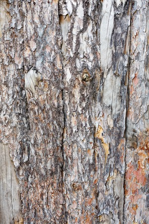 untreated: Natural tree bark plank texture. Untreated natural rustic wood background, rough timber plant surface. Weathered grunge styled fence. Vertical