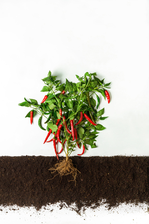 Chili pepper grow in ground, cross section, cutout collage. Healthy vegetable plant with leaves isolated on white background. Agricultural, botany and farming concept Banco de Imagens