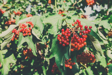 Red ripe fruits on guelder rose tree branch. Fresh organic viburnum with green leaves. Garden in village. Growing seasonal fruits, medicinal plants, harvest at farm, agricultural concept