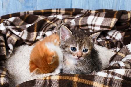 Grey and ginger kittens sit and sleep at brown plaid blanket. Pet care