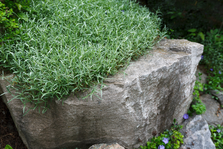 Landscape Design, Decorative Plant. Rosemary Herb Growing In Garden  Outdoors, Copy Space,