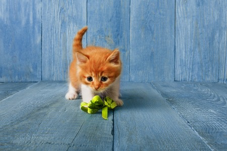 Lovely ginger kitten plays with ribbon at blue wood background with copy space. Long haired red orange small cat with white chest. Stock Photo