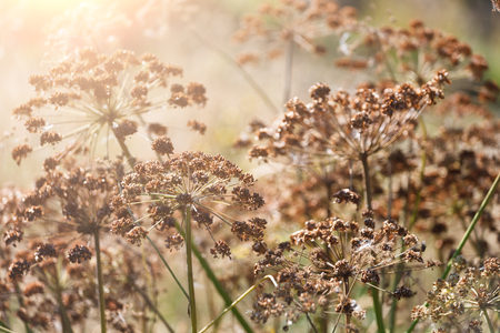 Closeup of dill umbrellas under bright sunlight. Dill growing on the field background Stock Photo