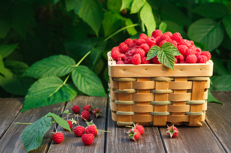Summer raspberry harvest. Wicker basket with berries closeup on wooden table outdoors at raspberry bush with green leaves background. Imagens - 81670376