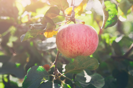 Apple on branch of tree. Sunny garden in village. Growing seasonal fruits, harvest at farm, agricultural concept Imagens