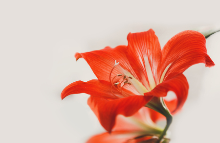 Red flower. Elegant tiger lilly close-up on light gray background, copy space Stock Photo