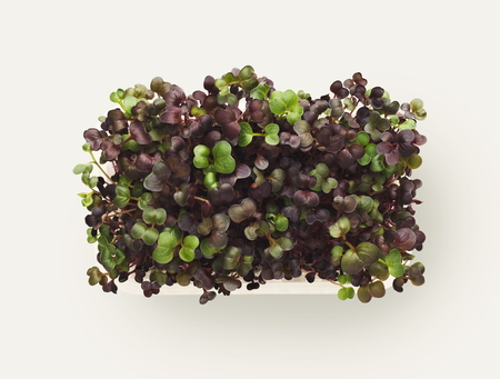 Growing micro greens isolated on white background. Healthy eating, fresh organic produce and restaurant decoration concept. Top view on red cabbage in plastic bowl, copy space