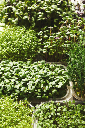 Assortment of micro greens. Growing kale, alfalfa, sunflower, arugula, mustard sprouts. Healthy lifestyle, stay young and modern restaurant cuisine concept Stock Photo