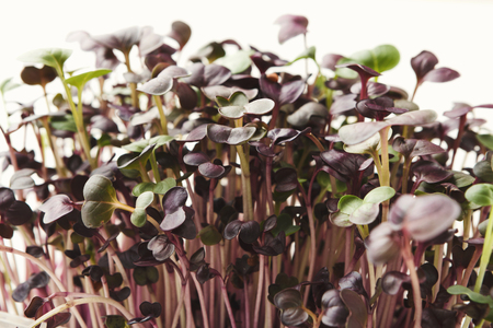 Fresh micro greens closeup isolated at white background. Growing redish sprouts for healthy salad. Eating right, stay young and modern restaurant cuisine concept
