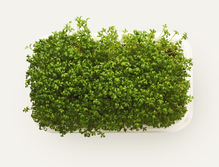 Growing micro greens isolated on white background. Healthy eating, fresh organic produce and restaurant decoration concept. Top view on watercress in plastic bowl, copy space 스톡 콘텐츠