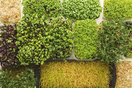 Assortiment van micro-greens bovenaanzicht. Groeiende boerenkool, alfalfa, zonnebloem, rucola, mosterdkiemen. Gezonde levensstijl, verblijf jong en modern restaurant keuken concept