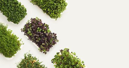 Wachsende Mikrogrüns lokalisiert auf weißem Hintergrund, Kopienraum, Draufsicht. Zusammenstellung des Schätzchens keimt in den Plastikschüsseln, im Modell für gesundes Essen und im organischen Restaurant, die Anzeige kochen