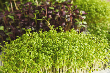 Assortment of micro greens. Growing kale, alfalfa, sunflower, arugula, mustard sprouts. Healthy lifestyle, stay young and modern restaurant cuisine concept 写真素材