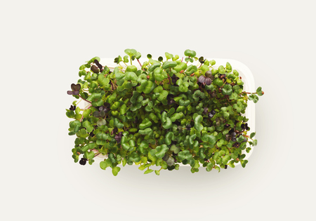 Growing micro greens isolated on white background. Healthy eating, fresh organic produce and restaurant decoration concept. Top view on alfalfa in plastic bowl, copy space