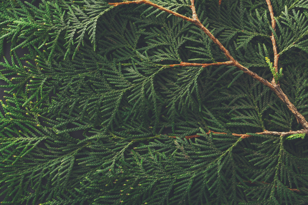 Green thuja tree branches background. Natural needles backdrop, bright evergreen texture