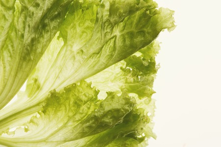 Backlit lettuce leaves. Closeup texture of healthy natural greenery, isolated on white, copy space, top view