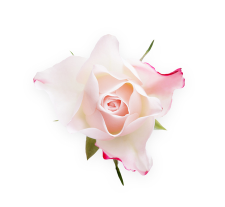 White rose flower closeup isolated on white background, top view. Pale pink bud as purity symbol. Floristic art, valentine day, wedding and romance concept Stock Photo