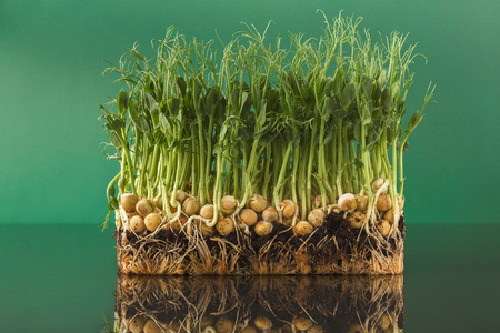 Fresh micro greens isolated at green background reflecting in glass table. Growing peas sprouts for healthy salad. Eating right, stay young and modern restaurant cuisine concept