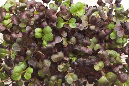 Fresh micro greens closeup. Top view on growing alfalfa sprouts for healthy salad. Eating right, stay young and modern restaurant cuisine concept