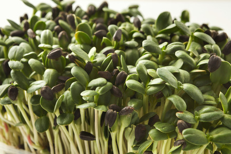 Fresh micro greens closeup isolated at white background. Growing sunflower sprouts for healthy salad. Eating right, stay young and modern restaurant cuisine concept Zdjęcie Seryjne
