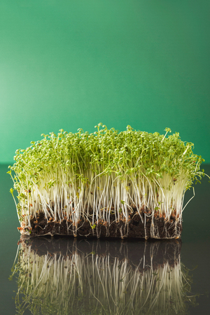 Fresh micro greens closeup isolated at green background reflecting in glass table. Growing alfalfa sprouts for healthy salad. Eating right, stay young and modern restaurant cuisine concept