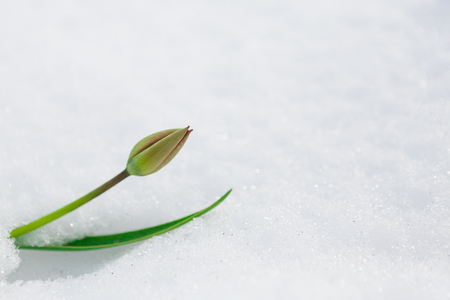 Tulip bud growing through snow during the last days of winter. Nature awakening, first flowers, thaw, looking for spring concept