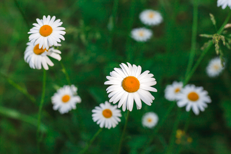 White daisies in morning closeup. Flower background of spring meadow, floral design